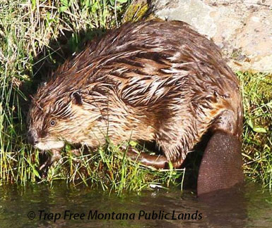 In Montana's last 9 years of recorded furbearer harvest reports, 61,276 beaver were reported trapped and killed from basically just 1/3 of trappers voluntarily reporting.