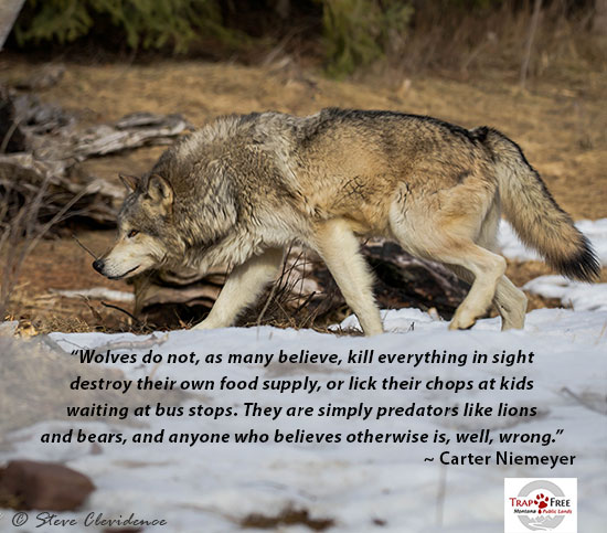 Photo of wolf with Quote by Carter Niemeyer, Wolves do not kill everything in sight and anyone who believes otherwise is, well, wrong.