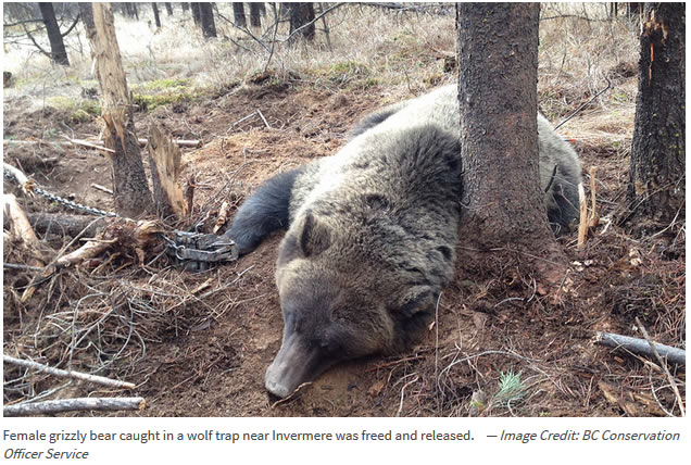 Female grizzly bear caught in a wolf trap