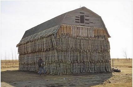Photo of barn displaying 1000s of skins of trapped animals