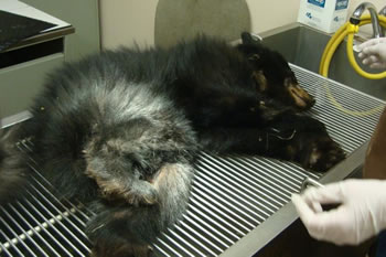 A bear cub has become another known innocent victim of trapping and is killed as a result of a snare