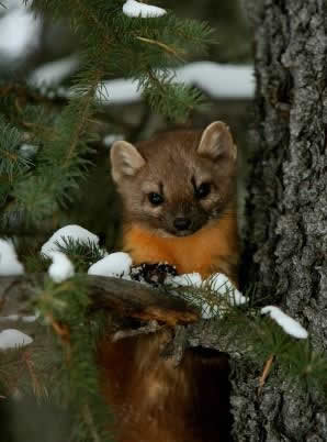 Legal trapping opened Dec 1 in Montana for Bobcat, Fisher, & Pine Marten | Trap Free Montana