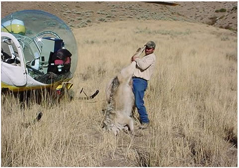 Dead wolf shot by Wildlife Services being placed on helicopter