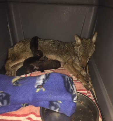 photo coyote mom who had her babies in the foot hold trap