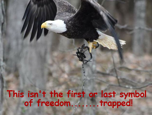 Eagle photographed flying near Gettysburg with talons snared in steel trap