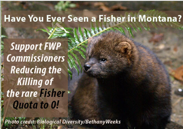 Over 10 years an average of 7 of the rare Fisher have been trapped in Regions 1 and 2 in Montana.