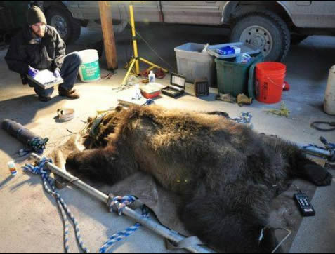 473lb subadult Griz caught in leghold trap set for wolves 2 days after the wolf trapping season opened. The Griz was caught and sedated after escaping with the leghold trap attached. It suffered swollen joints to its paw.