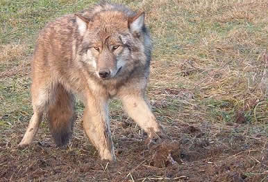 Images wolf trap Wolf Trapping Study
