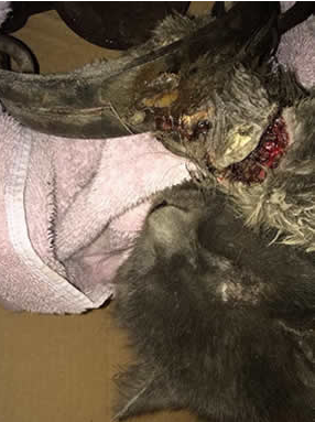 terrified kitty found in a leghold trap in the city of Great Falls