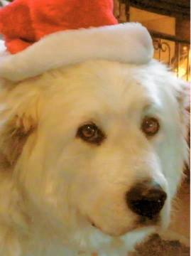 Beloved Great Pyrenees dog-  Morgan dies in trap - jelly head