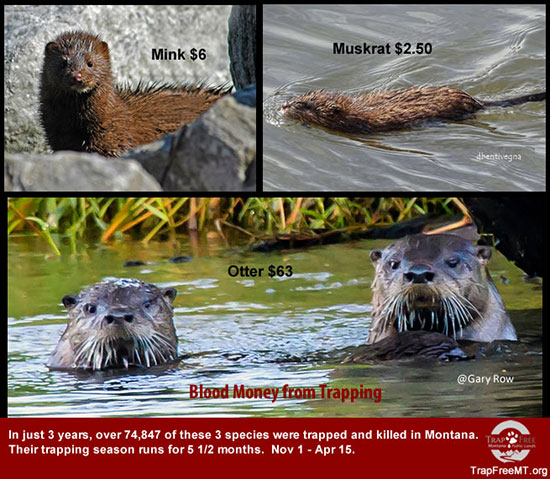 Photo of mink, muskrat, otter. Over 74,847 & killed and trapped in Montana. How is this management?