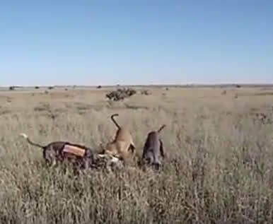 3 dogs attacking and killing innocent coyote