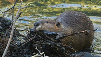 Image result for beaver is lost