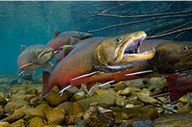 Photo of Bull Trout - trout are vanishing from large parts of their historic range