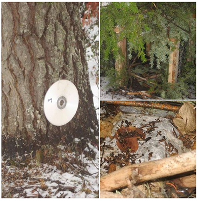 ground set traps - with CD discs hanging for visual attractant which would be for Bobcat to lure them with their curiosity.