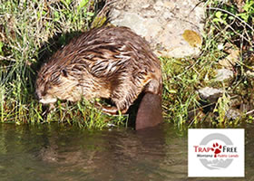Photo of beavers in water.
