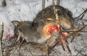 Photo of  wolf in snare  who all but lost his left leg prior to his death.