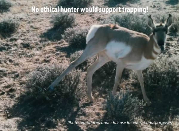 "Pronghorn in leg hold trap - ""Incidental"" non-target victims are inherent in trapping, legal and condoned as such in Montana."