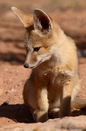 phtoto of swift fox