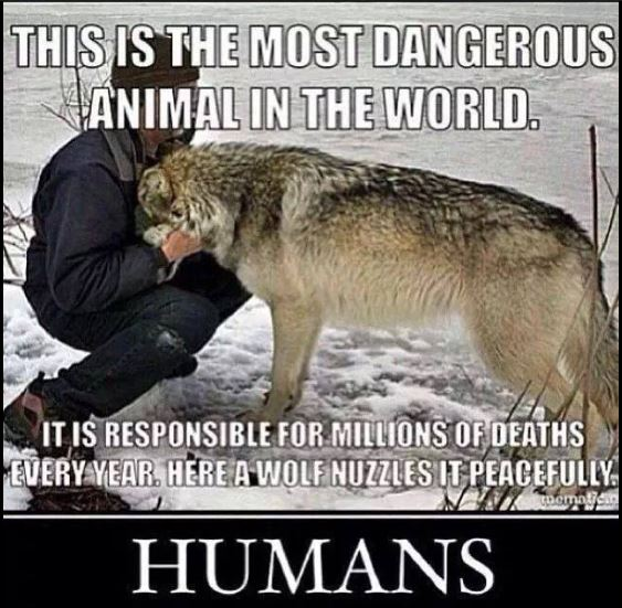 Photo man and wolf - man is dangerous not wolves